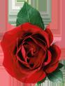 گل رز قرمز - خرید پستی مجموعه بی نظیر بیش از 8000 فایل لایه باز با موضوعات مختلف - پایگاه اینترنتی دی ال سل